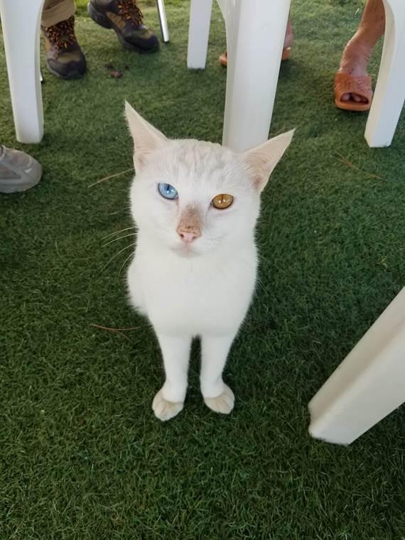 ラオウ オッドアイの白猫
